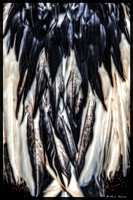 Goose Feathers After Snow