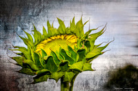 Sunflower on Metal