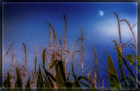 Soft Moonlit Corn (1)