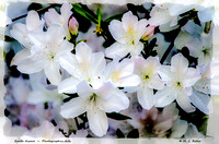 Earth Aware ~ White Azalea
