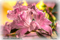 Earth Aware ~ Magenta Azalea_